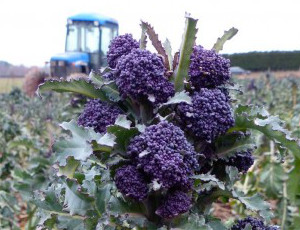 Perfect-purple-sprouting-broccoli