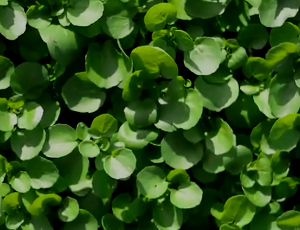 Willowdene-Farm-Watercress1